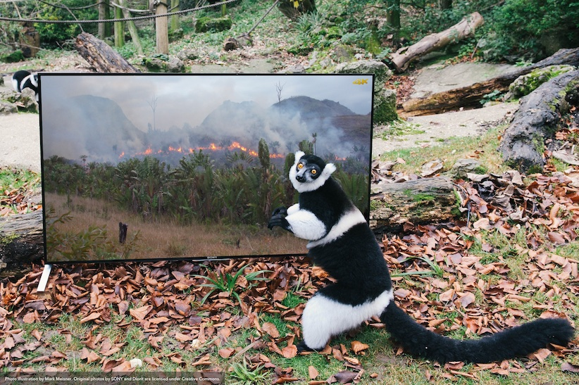A Lemur in front of a high definition TV that is showing a scene of forests being burned illegally in Madagascar. The lemur is saying WTF?
